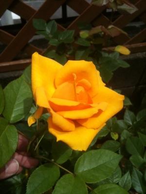 黄色のバラ本来