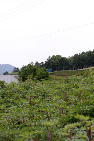 日本山人参を栽培している福岡うきは市の栽培風景