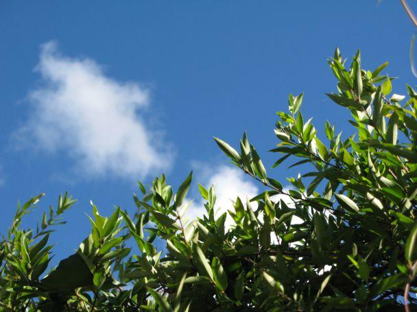 カロライナジャスミンと8月の空