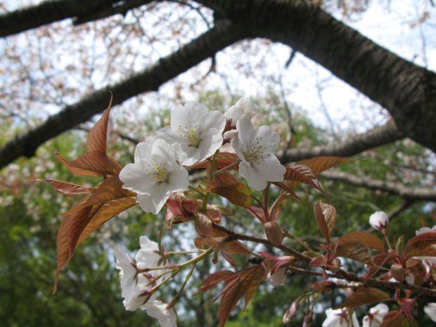 山桜はもう満開