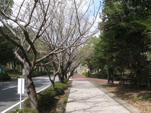 ここの桜が満開になるのは来週あたりかな