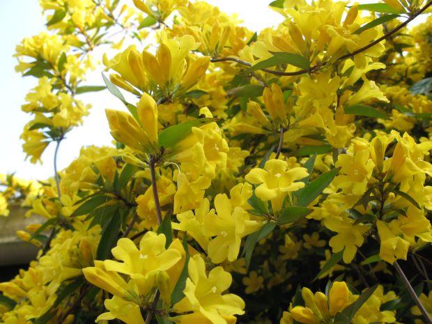 モッコウの黄色も上品な黄色やけどこれも上品な黄色やと思う
