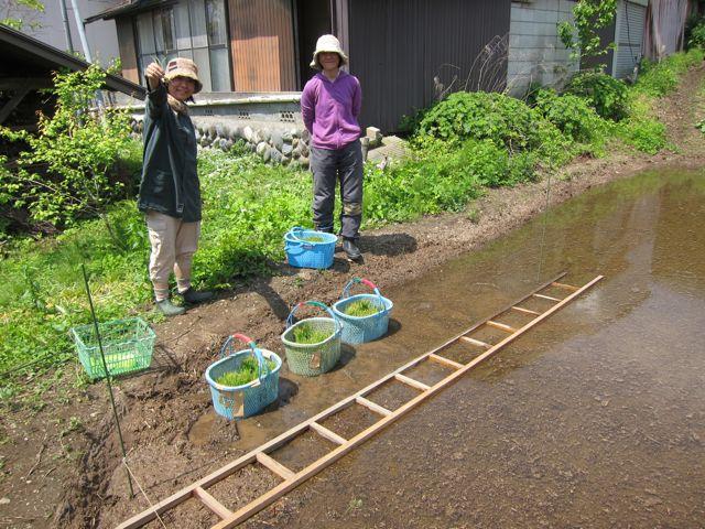 田んぼ植え3.jpg