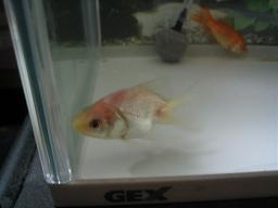金魚さん2