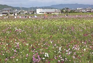 コスモス畑_1