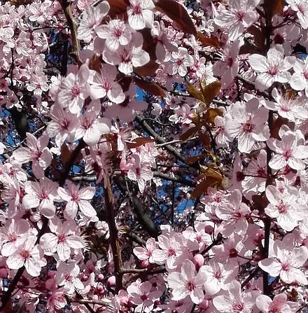 満開のヤマザクラの花