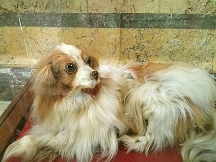 王侯貴族の時代のパピヨン犬