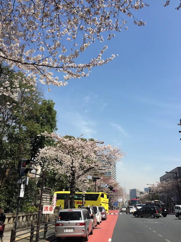 靖国神社前 桜