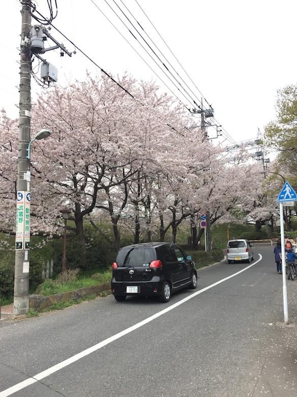 桜巡り2015 野川