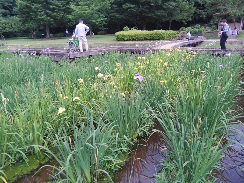 山崎公園 菖蒲園