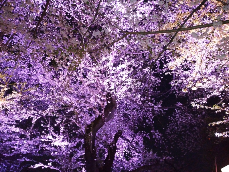 千鳥ヶ淵の桜 2019