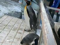 散歩から帰宅したキング&外の世界に興味津々のフンボルトペンギン