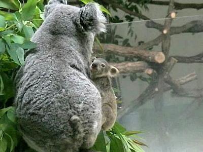 コアラ赤ちゃん7ヶ月弱