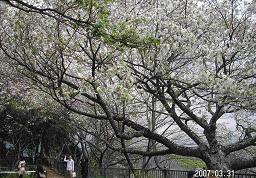 浅間山の桜