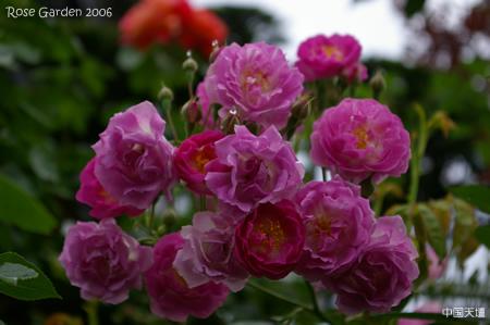 rose #012