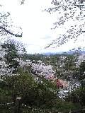 絶景 千秋公園の桜
