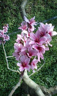 温室桃の花