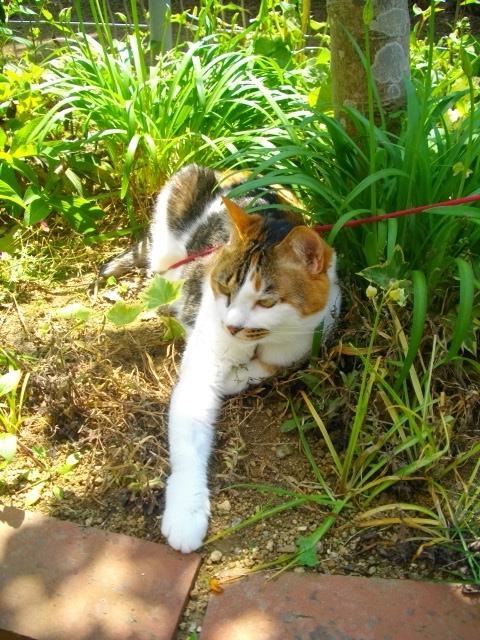 お庭でタマにゃん