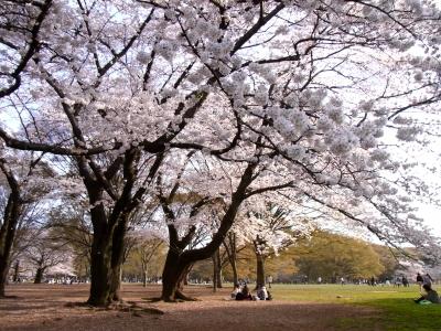 桜@代々木公園