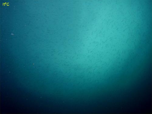 キビナゴ|初島でダイビング|2010/06/20