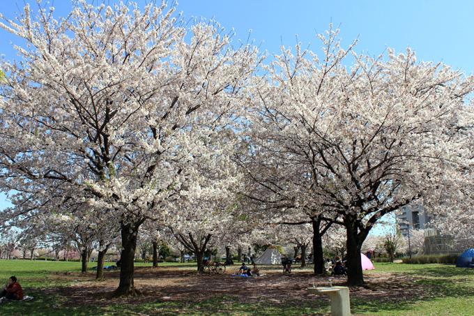 20170412_近所の桜_16.jpg