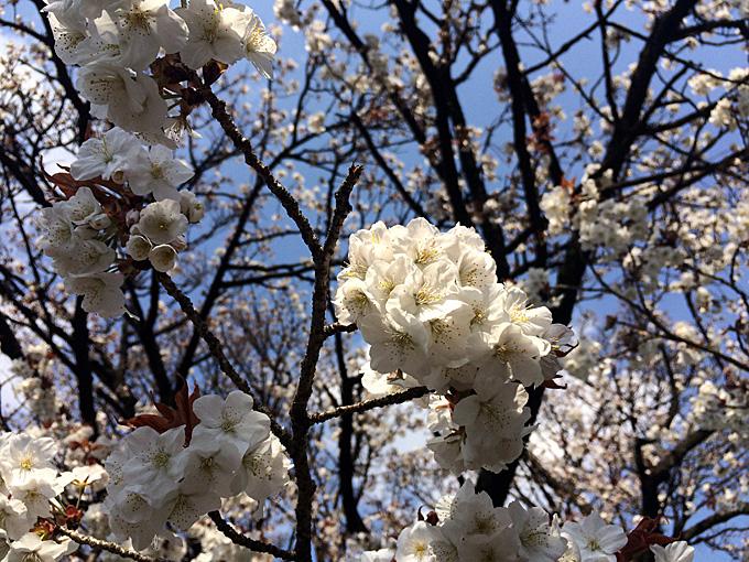 20170404_上野公園_03.jpg
