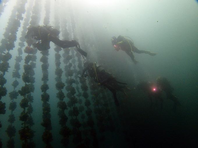 牡蠣棚ダイビング|女川でダイビング