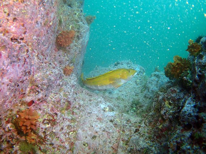金のアイナメ|女川でダイビング