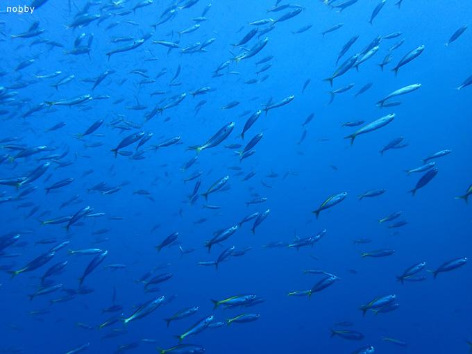 タカベの群れ|初島でダイビング