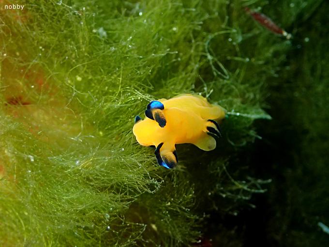 ウデリツノザヤウミウシ|初島でダイビング