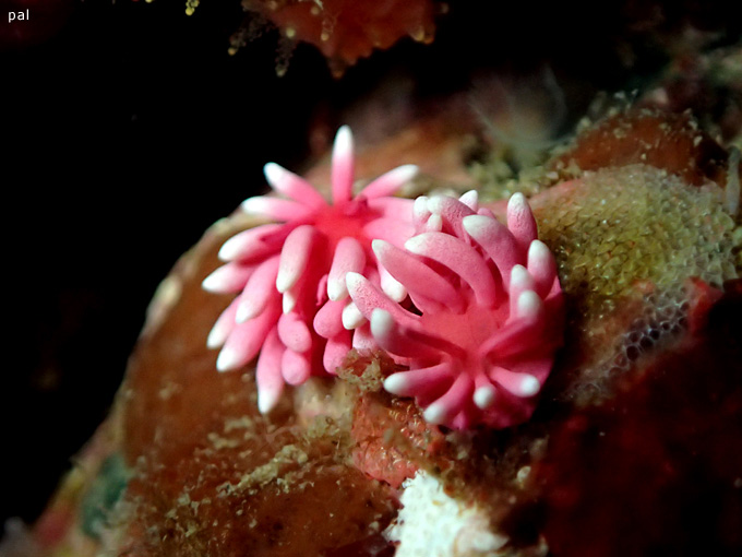 ヒロウミウシ|初島でダイビング