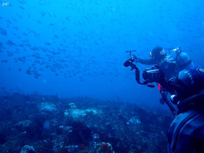イサキの群れ|勝浦でダイビング