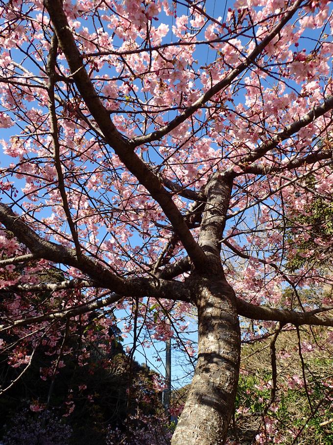 河津桜|勝浦でダイビング