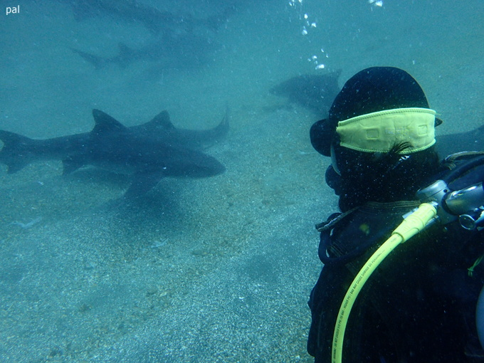 ドチザメ|伊戸でダイビング
