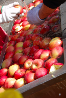 山形村リンゴ作り