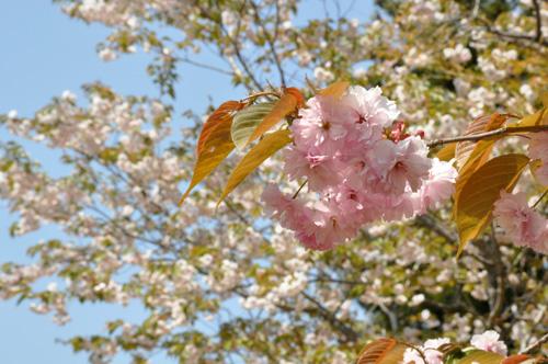 八重の桜満開