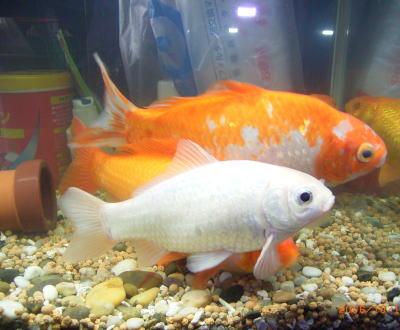 我が家の白い金魚