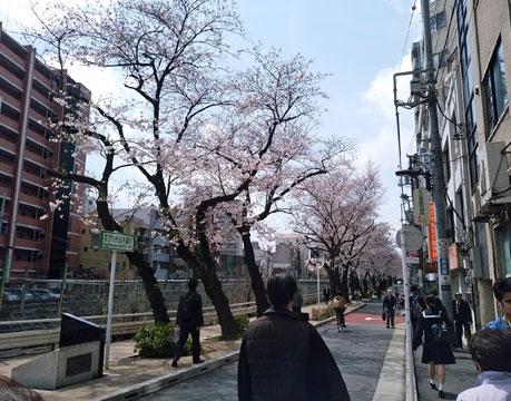 「すがも桜並木通り」の桜