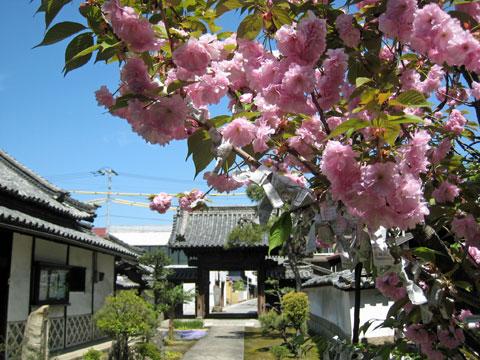 境内の八重桜