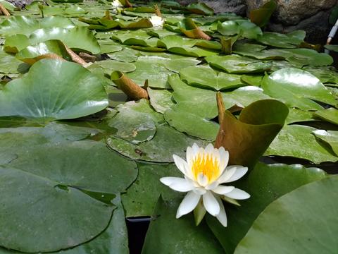 庭の池のスイレン
