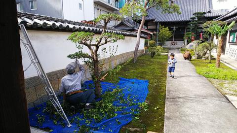 境内と庭の剪定作業ナウ