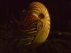 古代からいる貝
