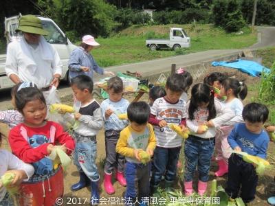 2017/07/12 とうもろこしの収穫
