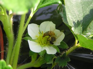 いちごの花とミツバチ