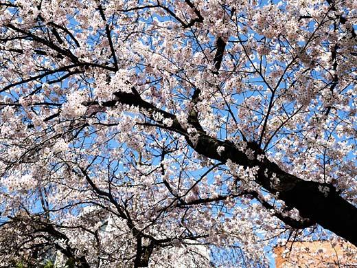 2015年 国立・大学通りの桜