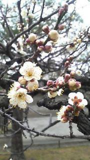 09年京都・二条城の梅の花