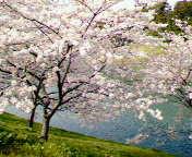 近視が治って桜もキレイ!