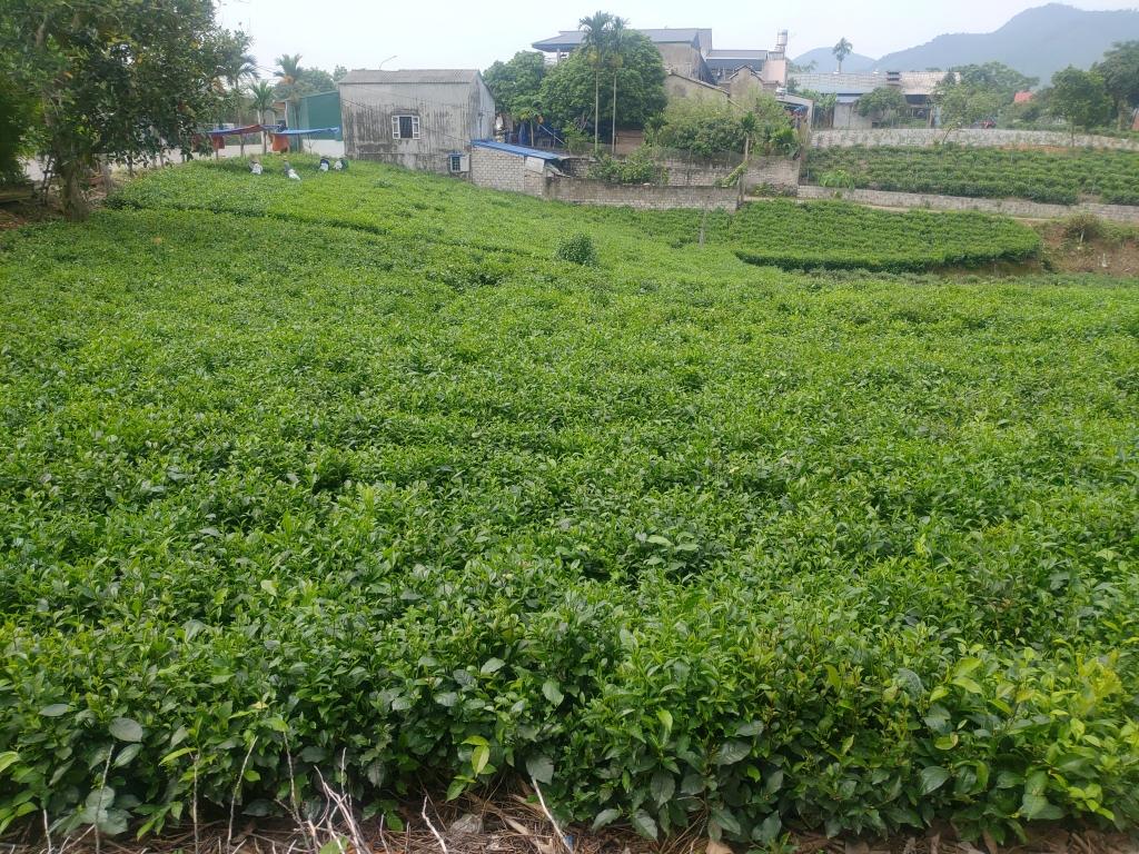 ベトナム茶畑