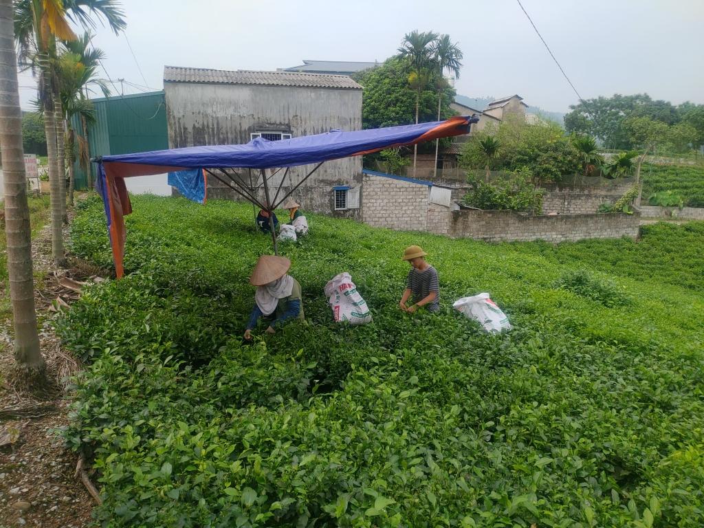 ベトナム茶畑収穫