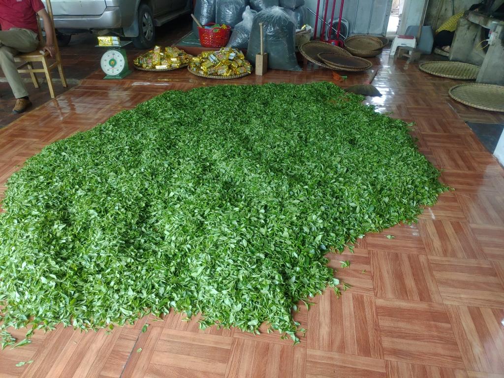 収穫した茶葉